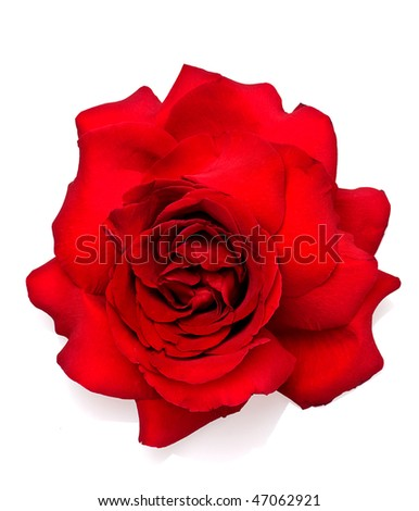 rose bud - stock photo