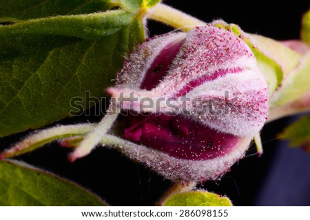 Rose bud isoalted over a black background - stock photo