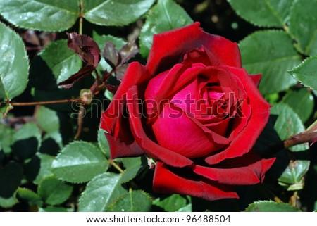 Rose bud on the rosebush - stock photo