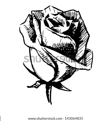 Rose bud sketch illustration