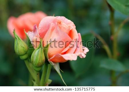 Rose buds on the rosebush - stock photo