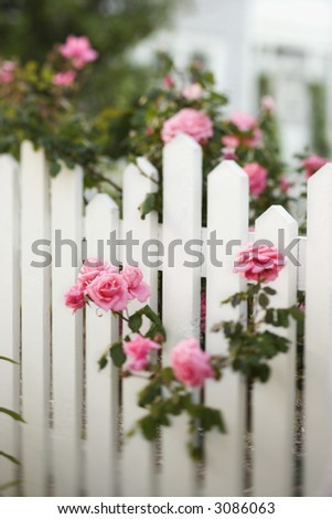 Rose bush growing over white picket fence. - stock photo