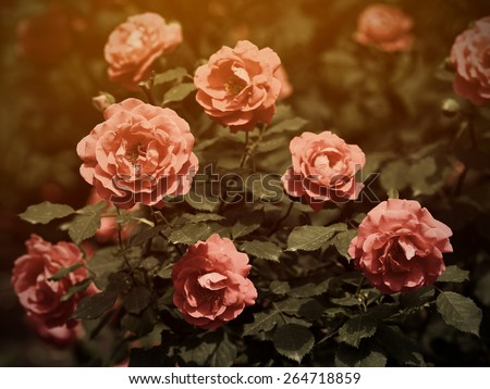Rose bush in vintage style - stock photo