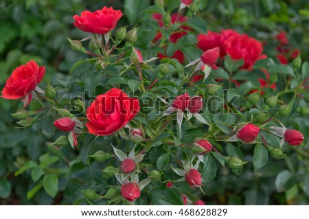 Rose bush with coral flowers and buds