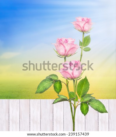 Rose bushes against  white fence in summer sunny garden , nature background - stock photo