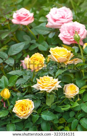 Rose bushes with yellow and pink blossoms and buds; Rose garden - stock photo