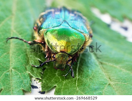 rose chafer - stock photo