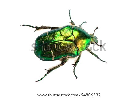Rose chafer (cetonia aurata) isolated on white background - stock photo