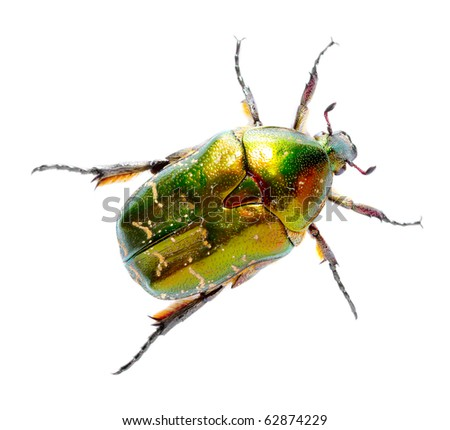 Rose chafer ( Cetonia aurata) isolated on white background. - stock photo