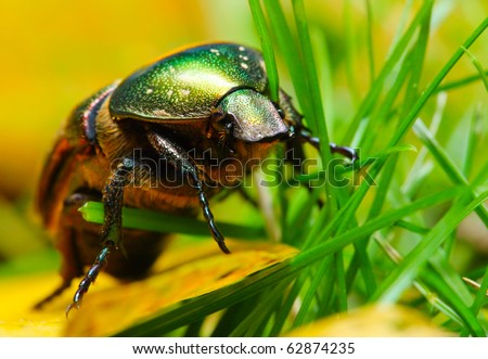 Rose chafer ( Cetonia aurata) on a meadows - macro with shallow DOF. - stock photo
