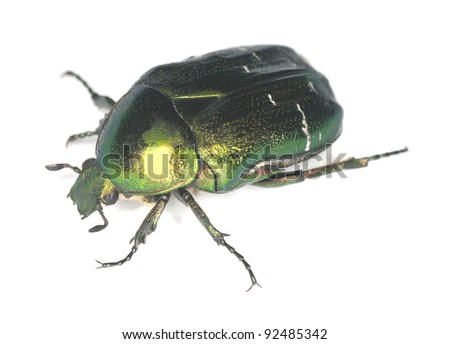 Rose chafer, potosia cuprea isolated on white background - stock photo