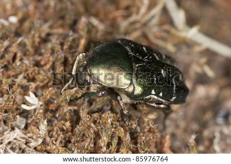 Rose chafer (Potosia cuprea) sitting on moss, macro photo