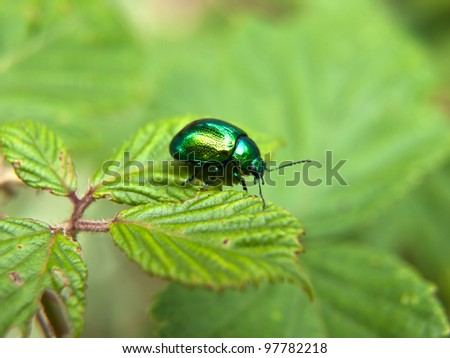 Rose chafers, Cetonia aurata, on plant - stock photo