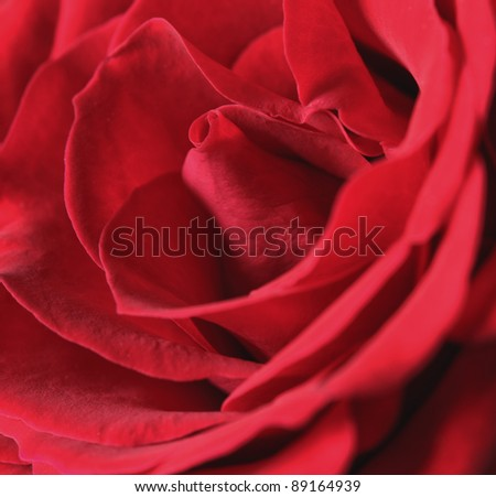 Rose close up - stock photo