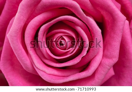 Rose close-up as background - stock photo