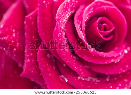Rose, close up, isolated on white. - stock photo