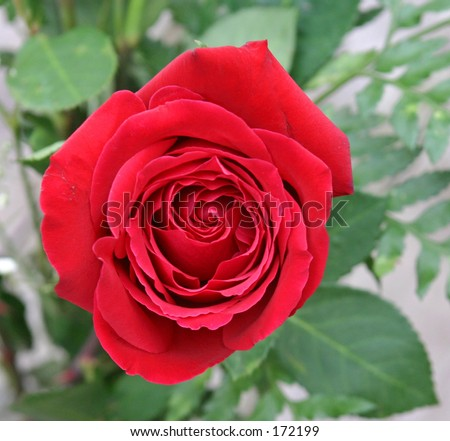 Rose closeup. - stock photo