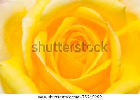 rose closeup