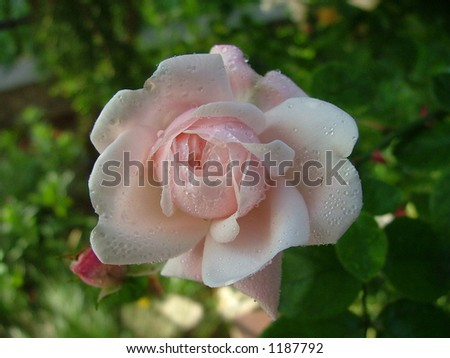 rose covered with dew - stock photo