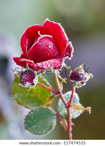 Rose covered with hoarfrost after the first morning frost - stock photo
