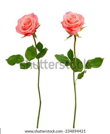 Rose day - stock photo