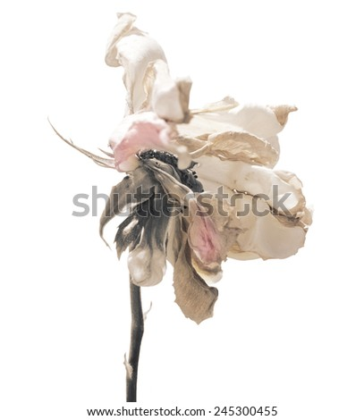 Rose dead and decaying. rose at the end of the summer isolated on white. Close-up of flower faded