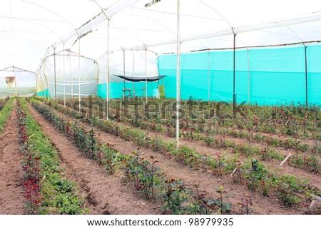 Rose farm - stock photo