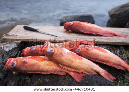 Rose fish (Sebastes norvegicus, prev. Sebastes marinus) before filleting at seaside. Caught at Norwegian sea, Helgeland. - stock photo