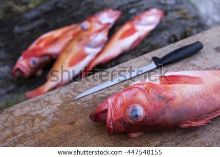Rose fish (Sebastes norvegicus, prev. Sebastes marinus) before filleting on cutting board.  - stock photo