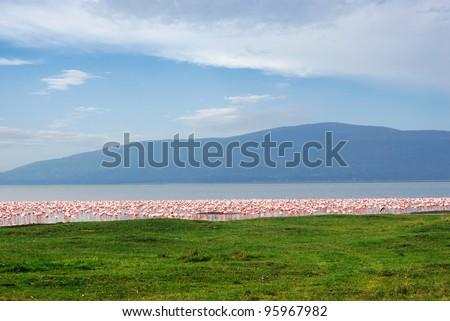 Rose flamingo Nakuru Lake national park, Kenya - stock photo