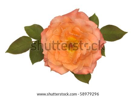 Rose flower 04 - stock photo