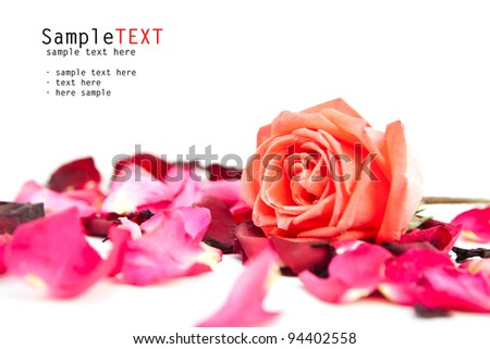 Rose flower and petals on white background - stock photo