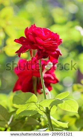 rose flower in the garden in the sun - stock photo