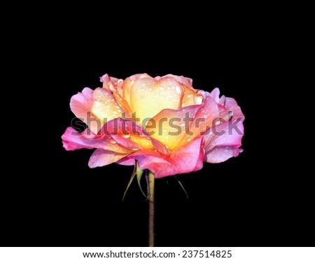 Rose flower isolated on white background - stock photo