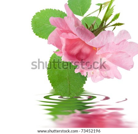 Rose flower with green leaf in water isolated over white