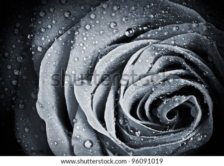 Rose flower with water droplets. Monochrome stylized close-up photo with shallow depth of field - stock photo