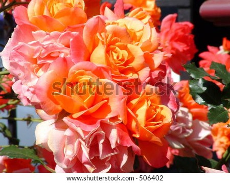 Rose Flowers - stock photo