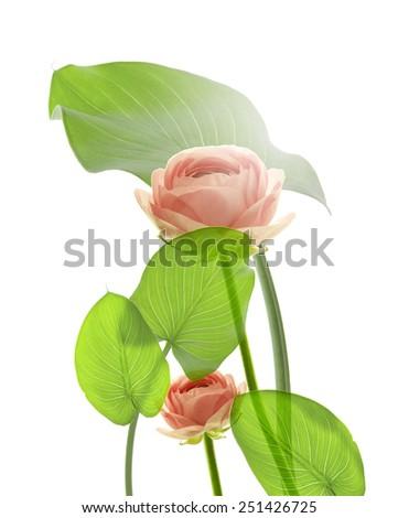 rose flowers isolated - stock photo