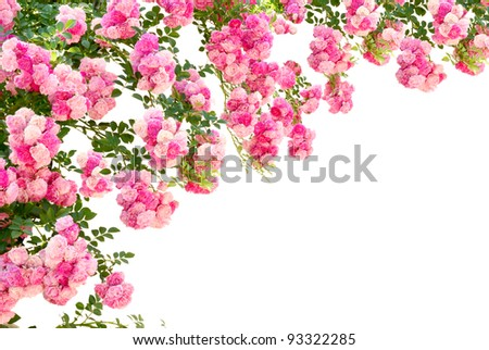 rose flowers isolated on white background - stock photo