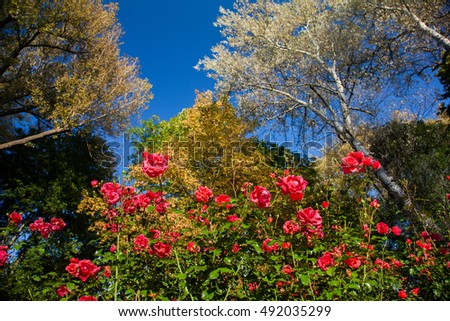rose flowers on flowerbed in front of trees with autumn foliage