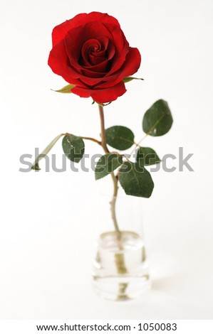 rose for valentine - stock photo