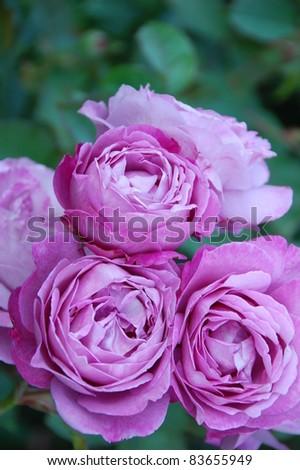 Rose Garden - stock photo