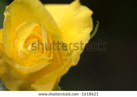 Rose 'Golden Wedding'