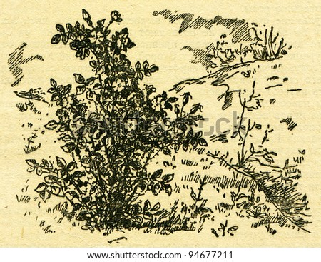 """rose hip, or rose haw - an illustration from the book """"In the wake of Robinson Crusoe"""", Moscow, USSR, 1946. Artist Petr Pastukhov - stock photo"""