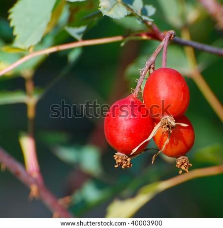 Rose Hips - stock photo