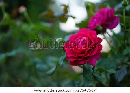 https://thumb7.shutterstock.com/display_pic_with_logo/167494286/729547567/stock-photo-rose-in-a-park-729547567.jpg