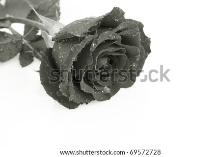 Rose in black and white covered with drops of water on a white background - stock photo