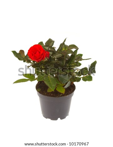rose in pot isolated on white background