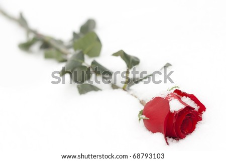 rose in snow - stock photo