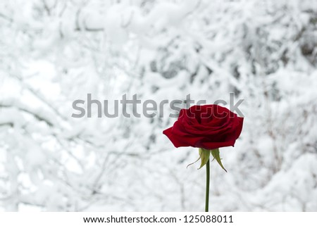 Rose in snowscape - stock photo